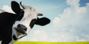 Produto Vaca Leiteira