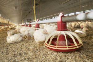 Cama para Avicultura