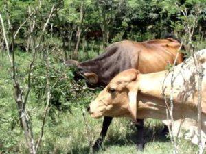 gado pastando